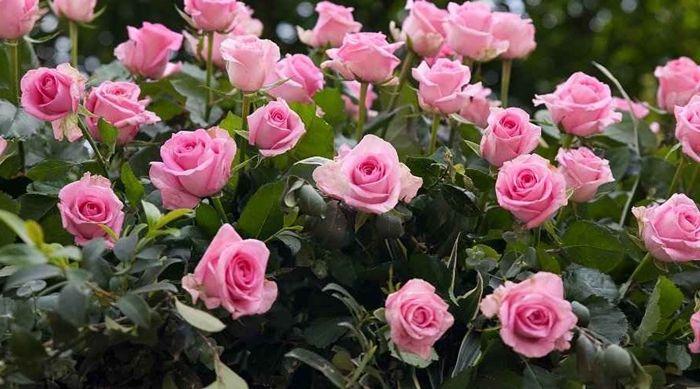 rosen schneiden frühjahr hübsche rosa blumen im garten tipps zur pflege