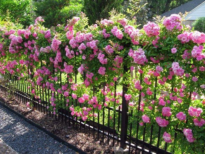 rosen schneiden frühjahr methode tipps undtricks gartenblumen zaundeko ideen zaun gartenzaun