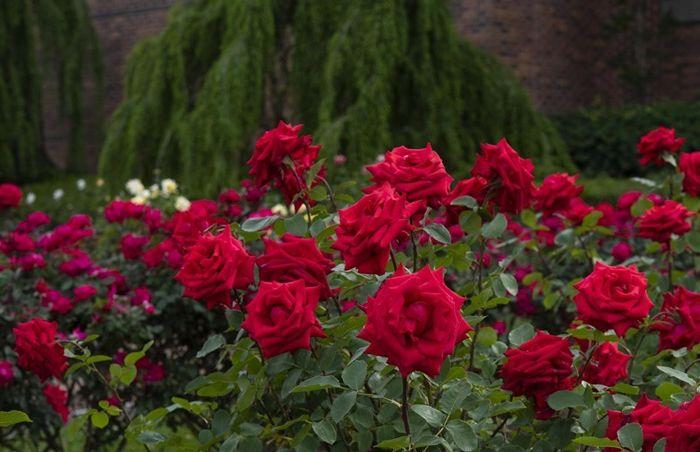 rosen schneiden frühjahr rote blumen wie schneidet man rosen tipps richtige methode