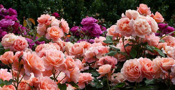 rosen schneiden im herbst rosa blumen im garten gartendeko rosenpflege