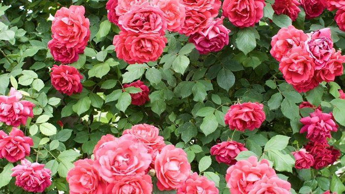 rosen schneiden im herbst schritt für schritt nützliche tipps für gärtner