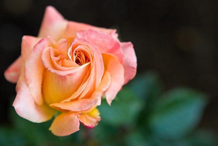 rosen schneiden im herbst tipps und tricks rosenpflege gartenblumen