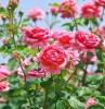 rosen schneiden richtige methode garten gestalten gartenpflanzen rosenbüsche