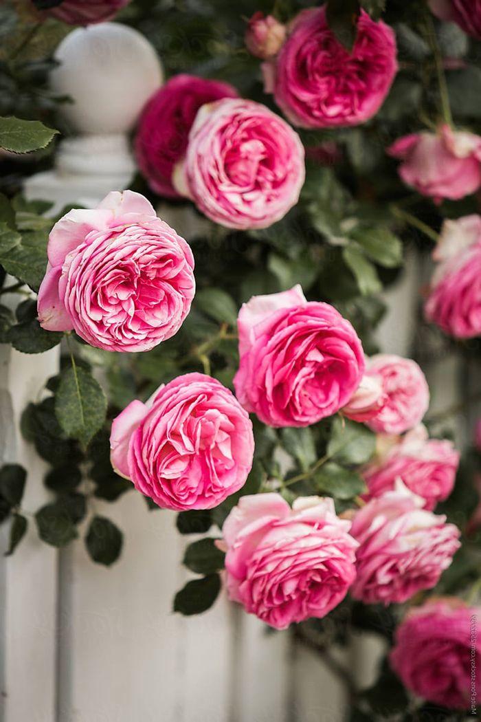 rosen schneiden rosa blumen weißer gartenzaun gartenzundeko garten gestalten