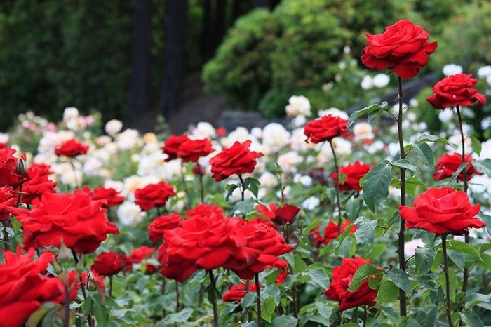 rosen schneiden rote und weiße blumen im garten gartenblumen gartenpflanzen