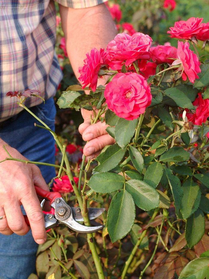 rosen schneiden wann und wie schritt für schritt anleitung tipps