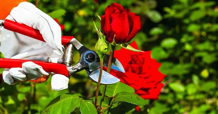 rosen schneiden wie macht man das richtig rote blume gartenschere blumen pflegen