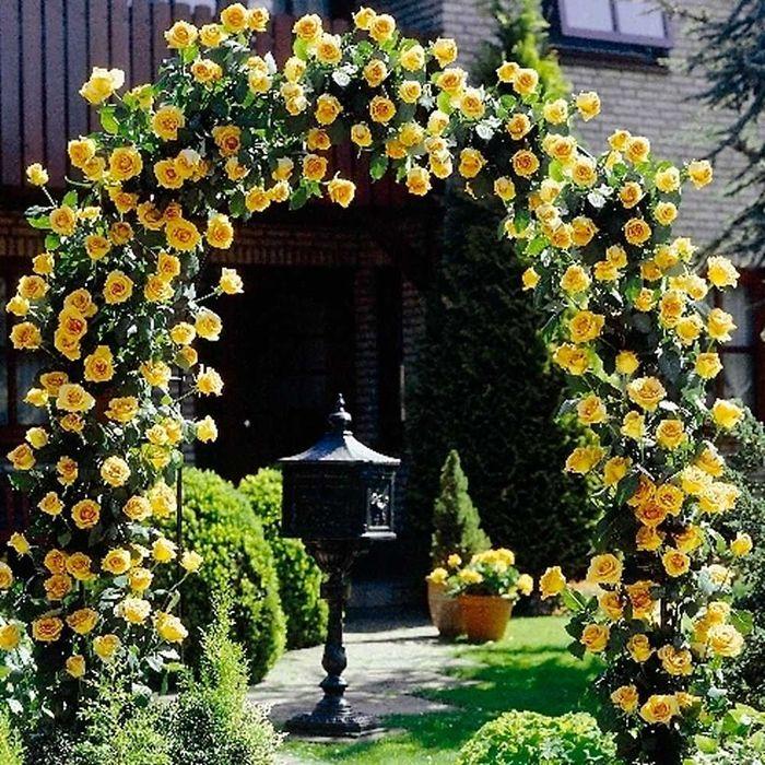 verblüffende rosen abschneiden bogen mit gelben blumen im garten gartendeko beispiele