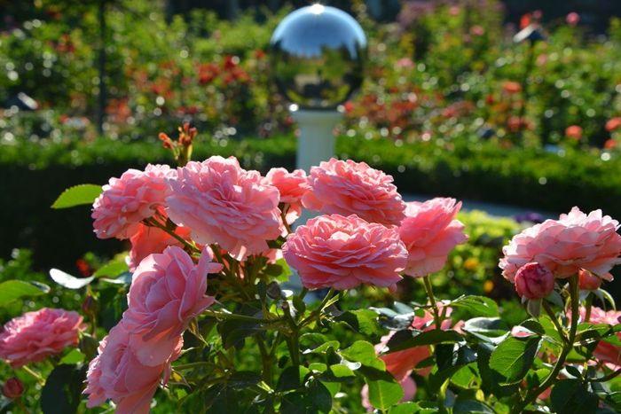 verblüffende rosen abschneiden garten bepflanzen ideen und tipps
