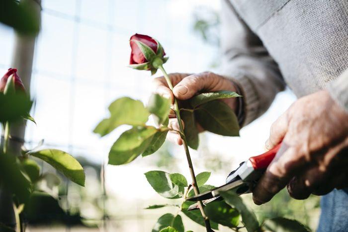 verblüffende rosen abschneiden garten ideen gartenschere gartenblumen rosenbüsche pflegen