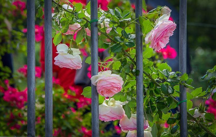 verblüffende rosen abschneiden gartenzaundeko gartezaun dekorieren hübsche blumen garten