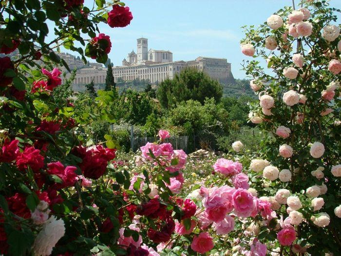 verblüffende rosen abschneiden richtige rosenpflege tipps und tricks für gärtner