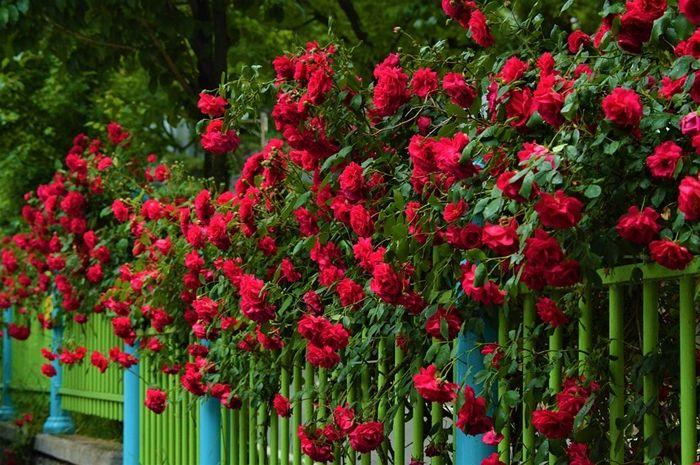 wann rosen schneiden tipps für gärtner garten gestalten gartenblumen ideen