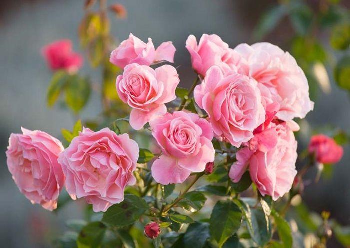 wann schneidet man rosen richtiger schneidezeit tipps zur rosenpflege