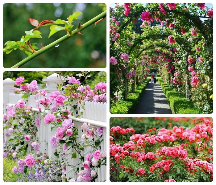 wie schneidet man rosen deko mit blumen rosenbüsche pflanzen und pflegen