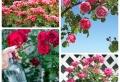 Rosen schneiden und pflegen: Nützliche Tipps für Gärtner und Hobbygärtner