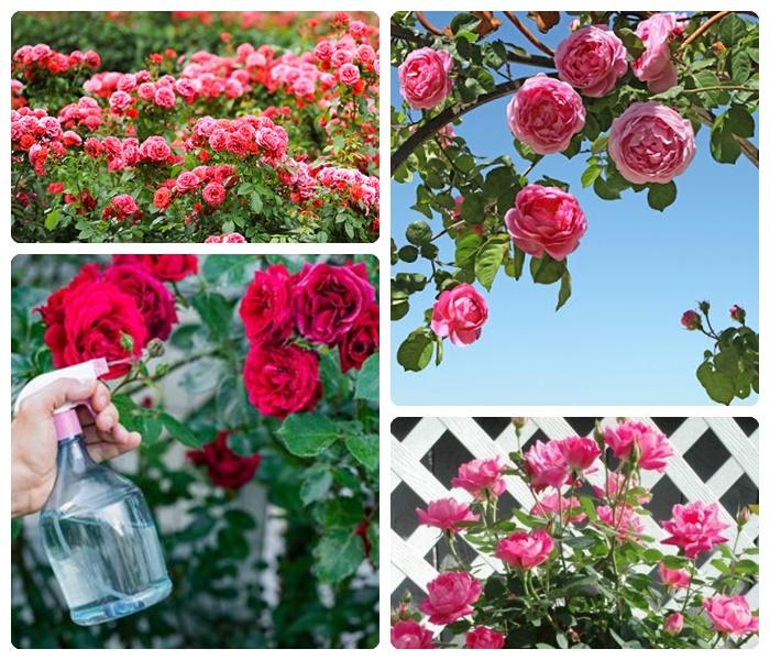 wie schneidet man rosen gartendeko ideen gartenblumen pflegen rosenbüsche