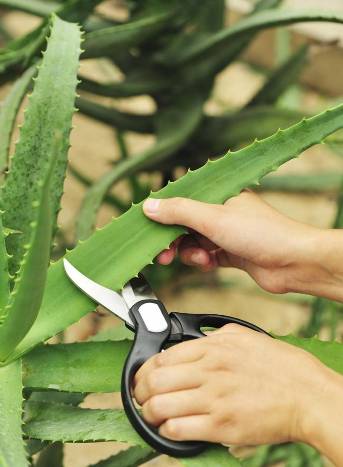 aloe very pflanze pflege schneiden große schwarze gartenschere gel aus aloe entfernen