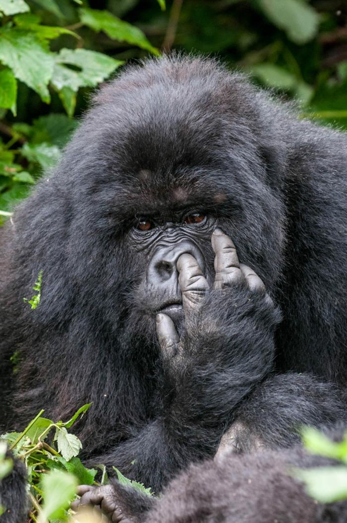 großer schwarzer gorilla in der dschungel finger in der nase lustige profilbilder ideen