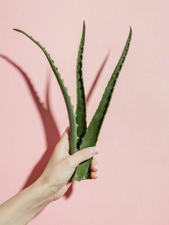 hand hält große aloe vera pflanze blätter aloe vera haut diy rezepte selber machen