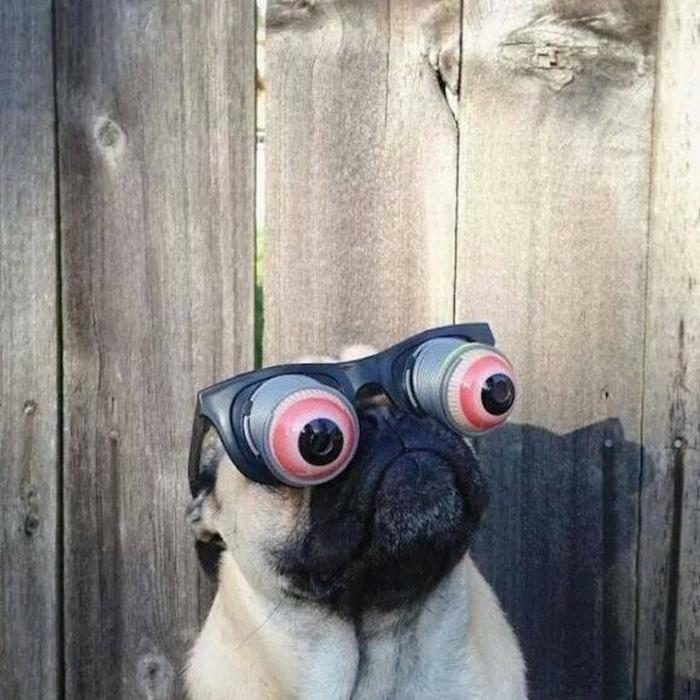 kleiner mops hund mit witzigen brillen lustige profilbilder zum totlachen lustige tiere fotos