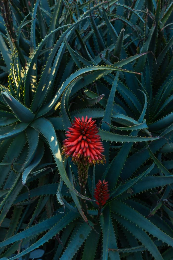 schöne aloe vera pflanze rote blüten aloe vera gel haare rezepte haarpflege ideen
