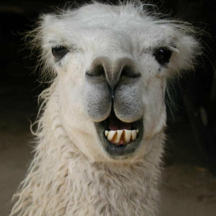 weißes lama lächelnd lustige bilder zum totlache kostenlos lustige profilbilder von tieren