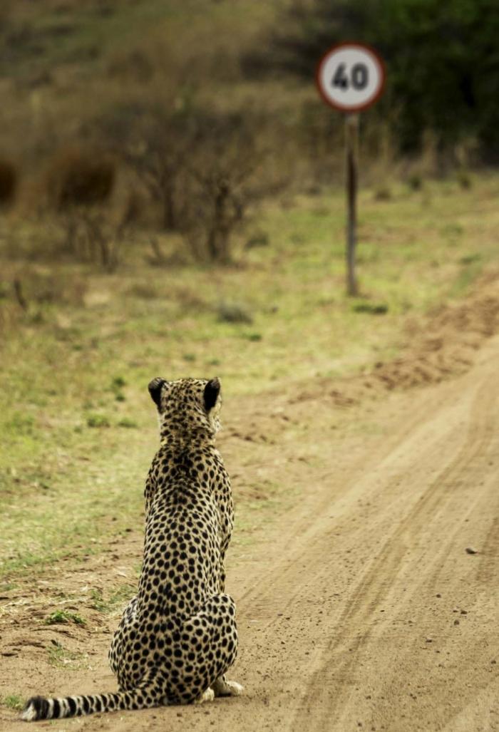 wildiere lustige bilder zum totlachen gepard guckt auf ein verkehrszeichen geschwindikeit beschränkung witziges bild