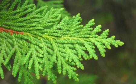 thuja die besten heckenpflanzen
