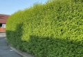Schnellwachsende Heckenpflanzen sorgen für guten Sichtschutz im eigenen Garten