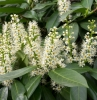 weiße blüten kirschlorbeer heckenpflanzen resized