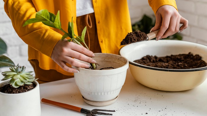 pflanzen im haus kümmern umptopfen frau in gelber strickjacke umtopft zimmerpflanzen plantsome de