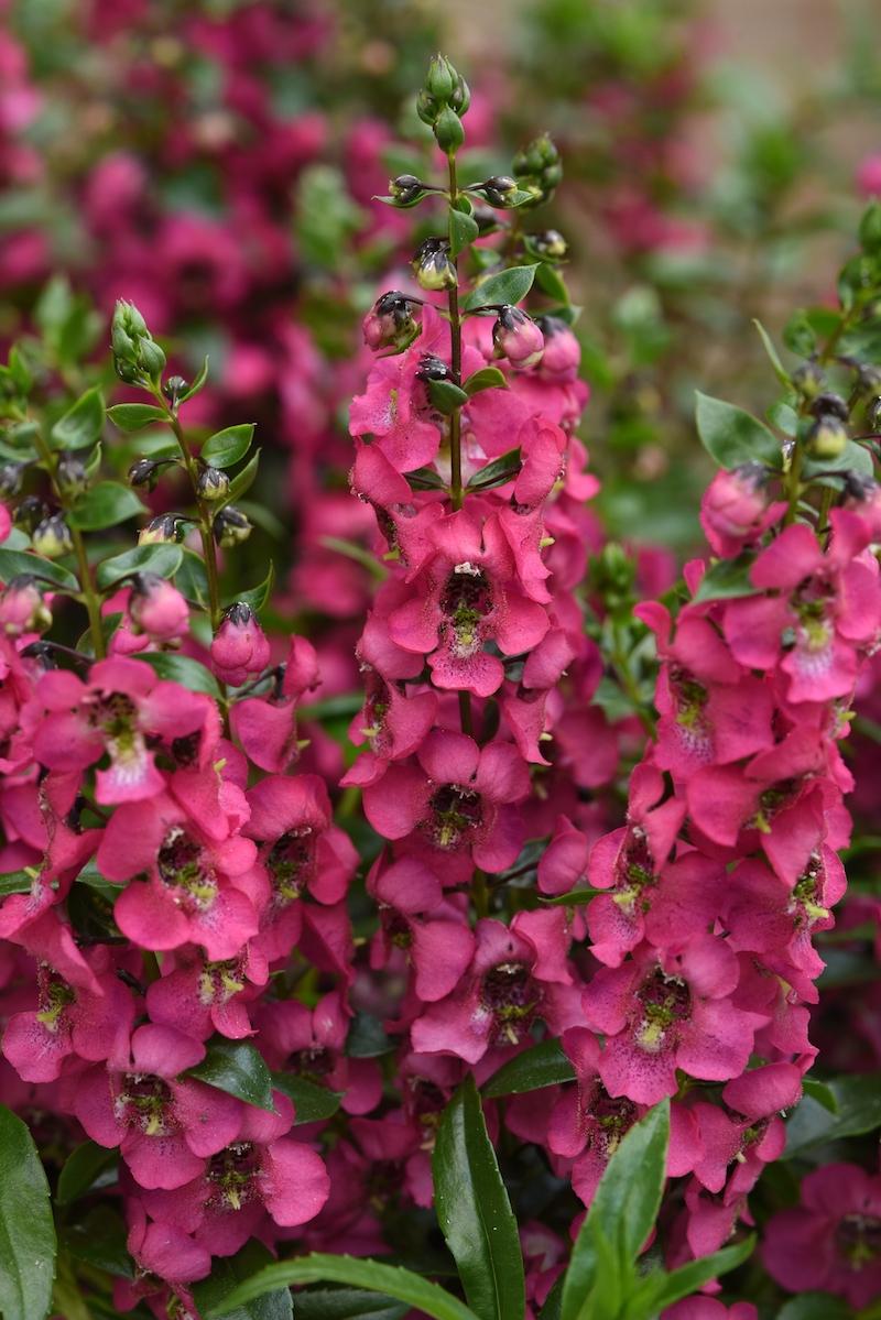 0 angelonia sommerstauden blumen die im sommer blühen gartengestaltung