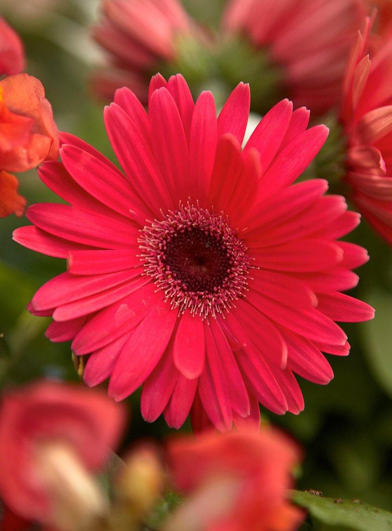 2 gerbera welche blumen blühen den ganzen sommer im garten