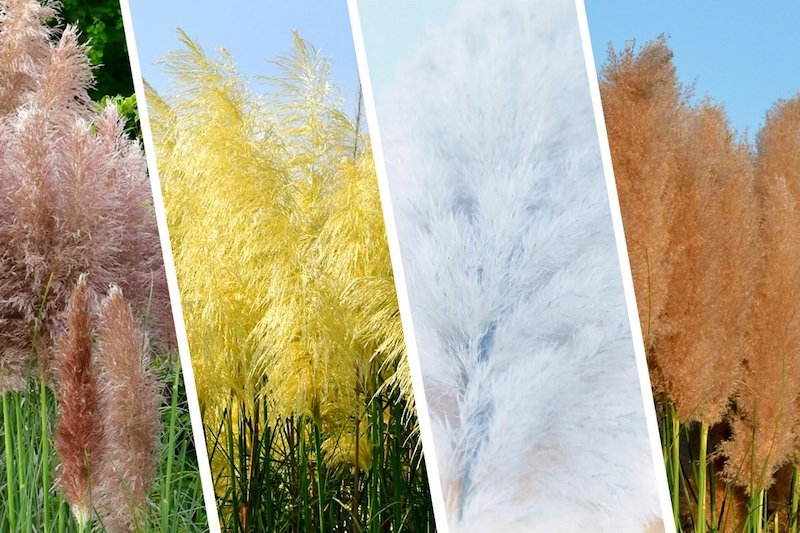 20 collage bunte pampasgras pflanzen pampasgras pflege