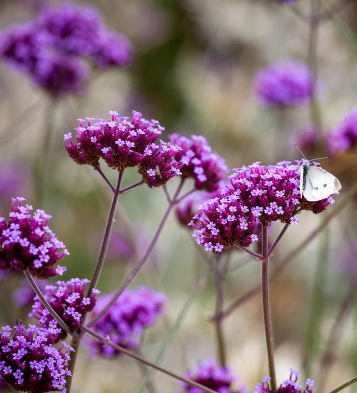 3 wunderschöne lila blume verbenen pflanzen für pralle sonne bilder welche blumen brauchen wenig wasser informationen