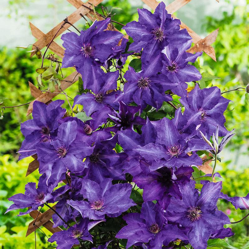 4 waldreben lila blume schöne farben sommerblumen winterhart
