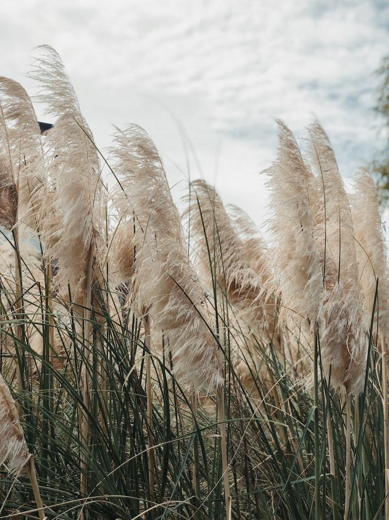 4 wie schnell wächst pampasgras pflegetipps und tricks