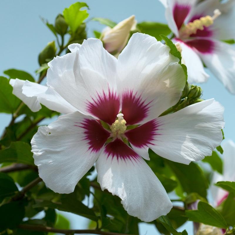 5-Rose von Scharon-sommerblume-weiß-und-lila-pflegeleicht