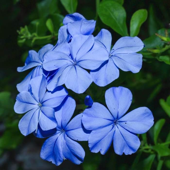 5 zierliche blaue blume bleiwurz pflanzen die viel sonne vertragen und winterhart sind leich zu pflegende blumen