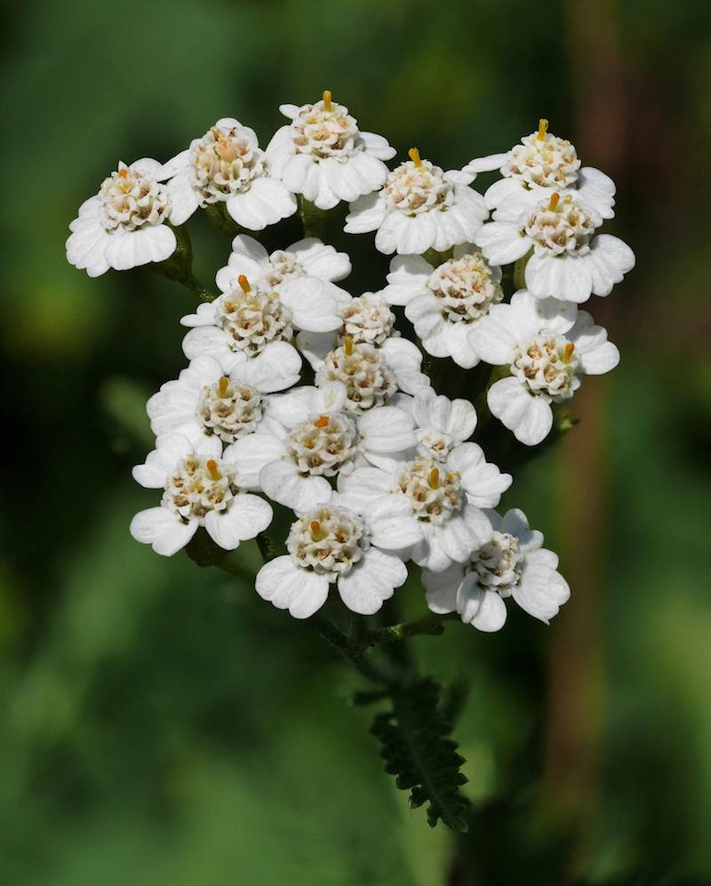 6-Gemeine-Schafgarbe-winterharte-stauden-dauerblüher-weiße-sommerblume