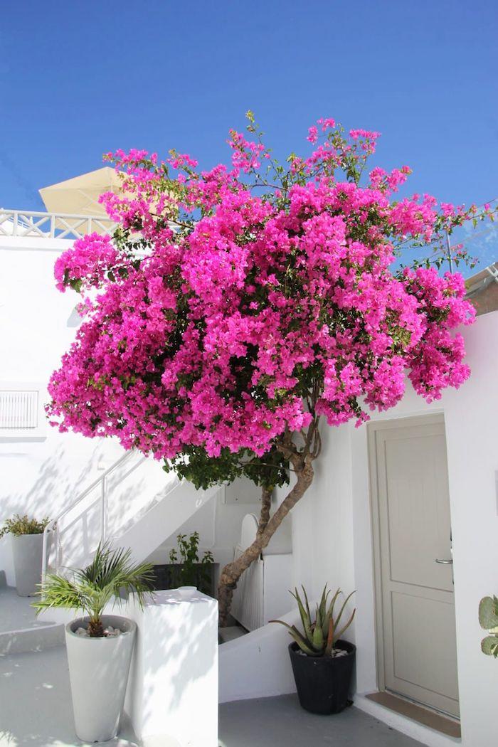 7 baum mit schönen pinken blüten pflanzen volle sonne wenig wasser bougainvillea blume kleines weißes haus