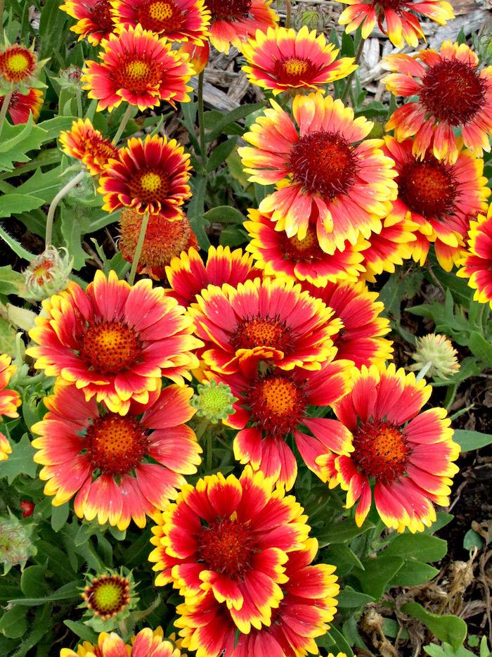 8 kokardenblumen mit roten und gelben farben trockenresistente pflanzen wenig wasser pflanzen