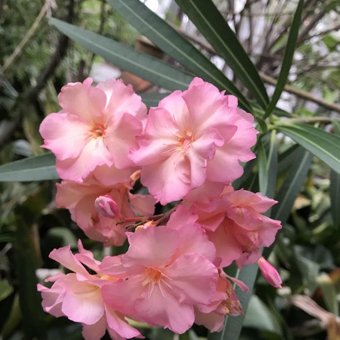 9 oleander blass pinke blume pflanzen für pralle sonne bilder blumen die wenig wasser brauchen garten einrichten