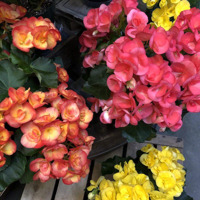 begonien schiefblatt bunte blumen verschiedene farben sommer blumen