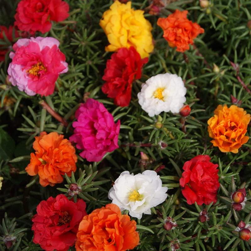 portulakröschen schöne sommer blumen bunte farben