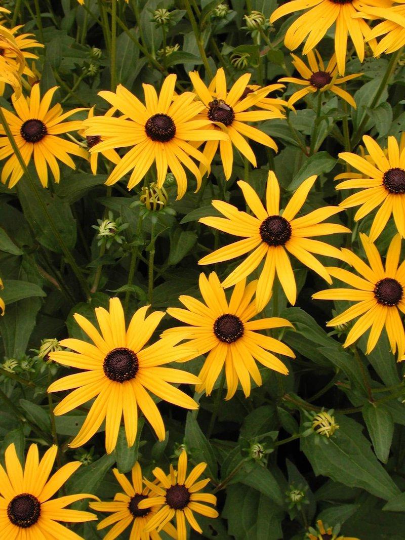 rudbeckien schöne gelbe blumen sommerblumen die im sommer gedeihen