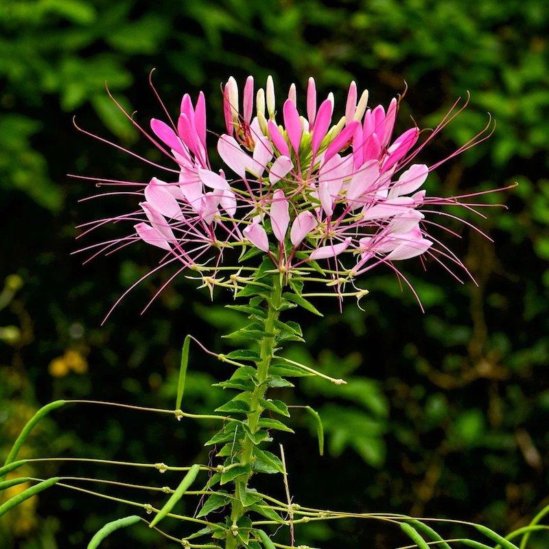 spinnenblumen welche blumen blühen den ganzen sommer im garten