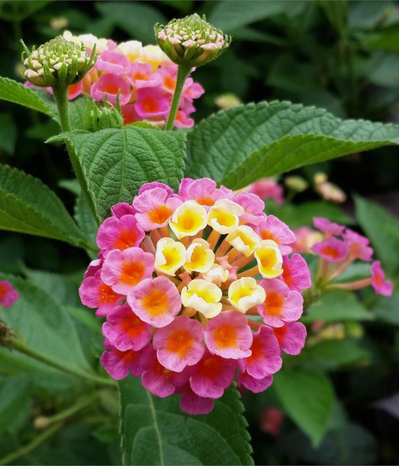 wandelröschen sommer blumen mit pinken und gelben blüten