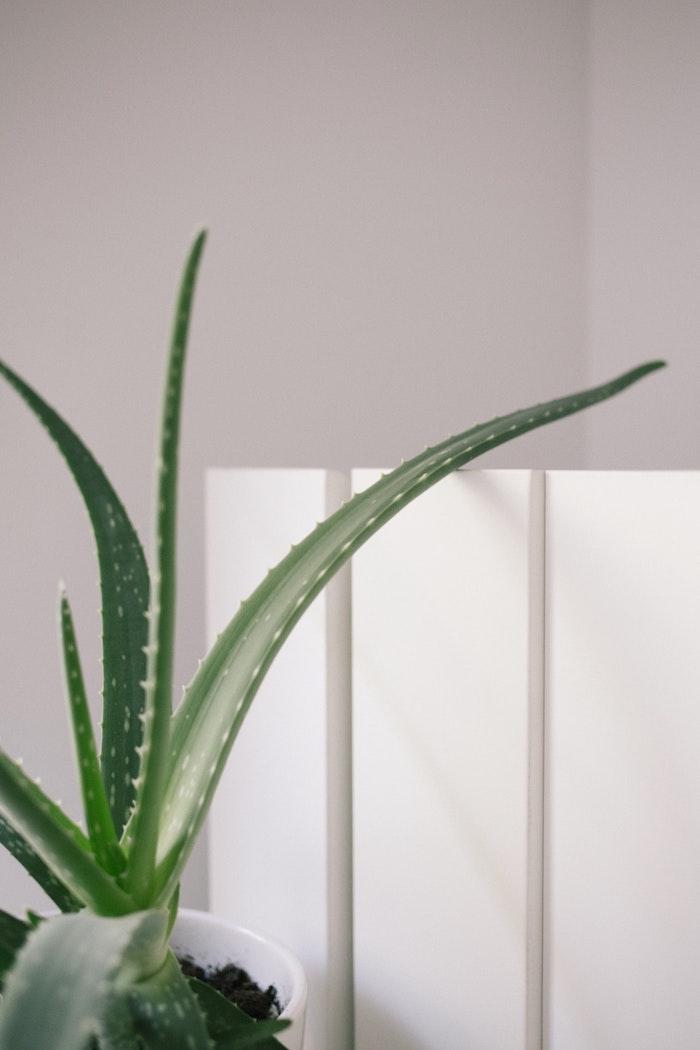 aloe vera wasser selber machen ein weißer topf mit einer grünen sukkulenten pflanze